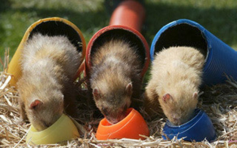 activity days - ferret racing